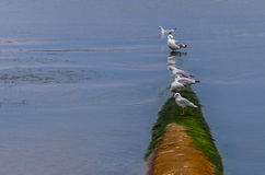 Seagulls sitting on a pipe in the river. Gulls sitting on a pipe in the river during the day stock photo