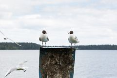 Seagulls sitting on a pole in the lake stock photo