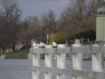Seagulls sitting on a railing in river Royalty Free Stock Photo
