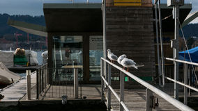 Seagulls sitting on a railing by the Zurich lake. The seagulls are sitting in a nice line on the railing Royalty Free Stock Photography