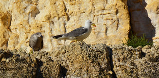 Seagulls sitting on a rock Royalty Free Stock Image