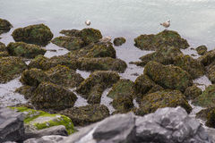 Seagulls sitting on rocks in water at North Sea coast in Ostend, Belgium Stock Photography