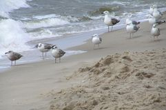 Seagulls sitting at the seacoast. Picture was made at Baltic Sea in Poland. That was very windy morning. I saw many seagulls trying to fly forward but due to Royalty Free Stock Image
