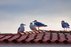 Seagulls sitting on a tiled roof. Seagulls sitting on a roof covered with red tiles Royalty Free Stock Image