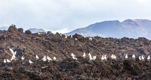 Seagulls sitting on volcanic stones Stock Images