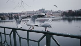 Seagulls sitting and walking along railing in city on river wterfront. Flock of birds on iron fence. Urban landscape and