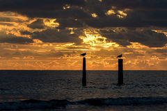 Seagulls sitting on wooden wave breakers at sunset Stock Images
