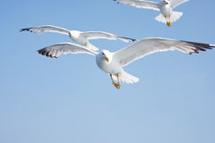 Seagulls in the sky royalty free stock photo