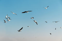 Seagulls in a sky. Royalty Free Stock Photos