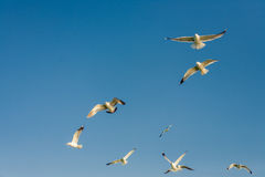 Seagulls at the sky. Flying seagulls at the blue sky Stock Photo