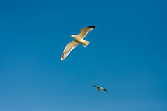 Seagulls at the sky. Flying seagulls at the blue sky Stock Image