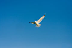 Seagulls at the sky. Flying seagulls at the blue sky Stock Photos