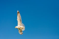Seagulls at the sky. Flying seagulls at the blue sky Stock Images