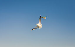 Seagulls at the sky. Flying seagulls at the blue sky Royalty Free Stock Photography