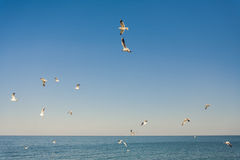 Seagulls at the sky. Flying seagulls at the blue sky Royalty Free Stock Images