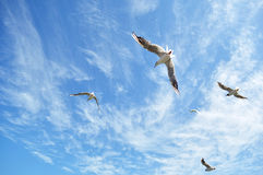Seagulls in the sky Royalty Free Stock Photos