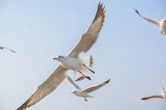 Seagulls on the sky. Seagulls fly on the sky with other Royalty Free Stock Photos
