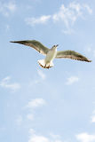 Seagulls in sky Royalty Free Stock Image