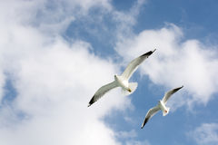 Seagulls in sky Stock Photography
