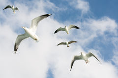Seagulls in sky Royalty Free Stock Photography