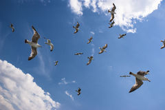 Seagulls are on sky Royalty Free Stock Images