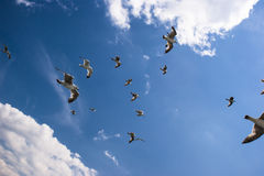 Seagulls are on sky Royalty Free Stock Image