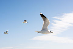 Seagulls in sky Stock Images