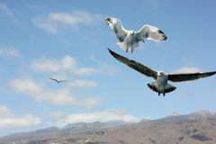 Flying seagulls and mountain view royalty free stock photos