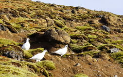 Rock Ptarmigan in Iceland (Rjúpa). Small, newborn Rock Ptarmigan in Iceland (Rjúpa) with white fur on the hill in Iceland royalty free stock photos