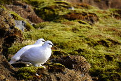 Rock Ptarmigan in Iceland (Rjúpa). Small, newborn seagulls with white fur on the hill in Iceland royalty free stock images