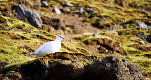 Rock Ptarmigan in Iceland (Rjúpa). Small, newborn seagulls with white fur on the hill in Iceland stock photos