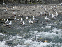 Seagulls snatching discarded fish skeletons at the copper river Royalty Free Stock Photography
