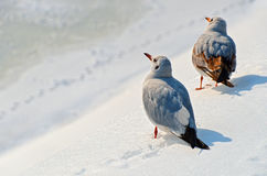 Seagulls in the snow Royalty Free Stock Photography