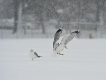Seagulls in the snow storm Stock Photos