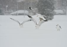 Seagulls in the snow storm Royalty Free Stock Photo