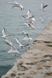 Seagulls soar dramatically with fence. A flock of white gulls taking off from the concrete fence Stock Images