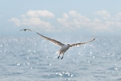 Seagulls Soar Over Ocean. Sparkles on waves Royalty Free Stock Images