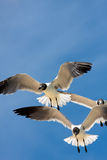 Seagulls Soaring Royalty Free Stock Image