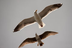 Seagulls soaring Stock Photo