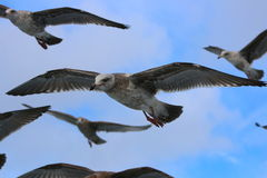 Seagulls soaring. Five seagulls soaring looking for food Stock Photography