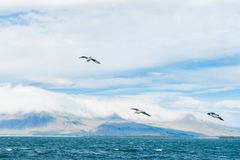 Seagulls soaring over Atlantic ocean stock photography