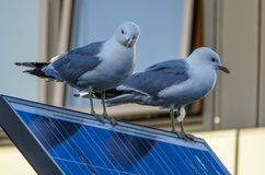 Seagulls on solar panel. A pair of seagulls sitting on a solar panel.a royalty free stock photo