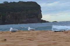 Seagulls som bygga bo på sanden Arkivfoton