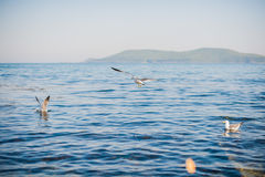 Seagulls som flyger över havet Arkivbild
