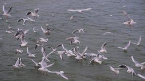 Seagulls som flyger för mat i det baltiska havet Arkivfoton