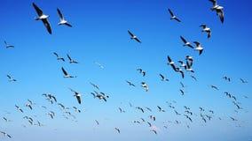 Seagulls som flyger i blå sky Royaltyfri Bild