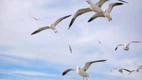 Seagulls som flyger i luften arkivfilmer