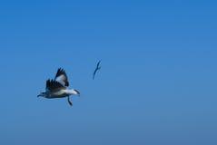 Seagulls som flyger i skyen Arkivfoton