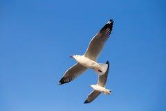 Seagulls som flyger i skyen Royaltyfria Bilder