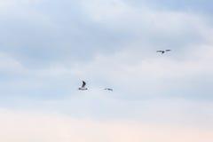Seagulls som flyger i skyen Fotografering för Bildbyråer